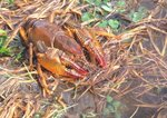 Burrowing crayfish, also called devil crayfish