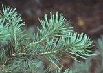 Subalpine fir needles