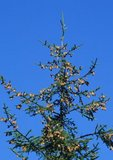 Red spruce with cones