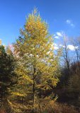 Tamarack in fall color