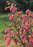 Red-flowering currant in flower