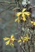 Turkey oak with emerging leaves