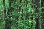 Sweet pepperbush among red maples, Great Dismal Swamp