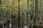 Great Dismal Swamp with red maple and bald cypress
