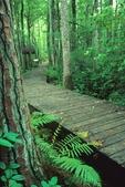 Boardwalk passing through swamp, with cinnamon fern alongside, Pine Island Trail
