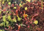 Sundews, pitcher plant, sphagnum moss, and caterpillar in bog
