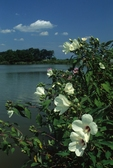 Rose mallow and pond