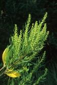 Marsh elder in flower