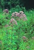 Hollow Joe-Pye-weed (also called trumpetweed)