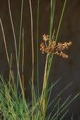 Black needlerush in fruit, salt marsh