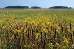 Goldenrod and narrow-leaved cattail at edge of marsh
