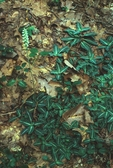 Downy rattlesnake plantain with flower spike