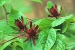 Sweetshrub (also called sweet Betsy or Carolina allspice) with flowers