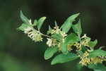 Autumn olive in flower