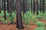 Turkey oak seedlings under mature longleaf pines