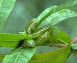 Seven green treefrogs on swamp loosestrife