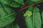 Green treefrog on swamp loosestrife