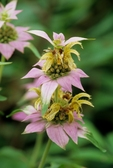 Horsemint (also known as spotted beebalm) in flower