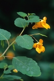 Jewelweed (also known as spotted touch-me-not)
