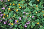 Mistflower and jewelweed (also known as spotted touch-me-not)