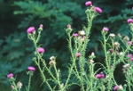 Welted thistle (also known as curled thistle)