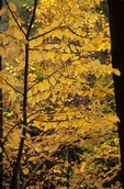 Yellow birch in fall color