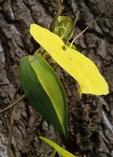Anglepod (also called angularfruit milkvine) with fruit