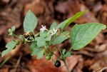 Black nightshade with flowers and fruit