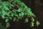 Ironwood (also called American hornbeam) with fruits