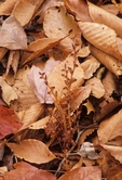 Beechdrops and fallen leaves of American beech