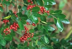 Yaupon holly with berries, in garden setting