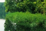 Water willow along shoreline of reservoir