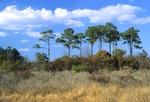 Salt marsh shrub community with loblolly pines, salt marsh off lower Chesapeake Bay