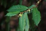 Thorny elaeagnus in fruit