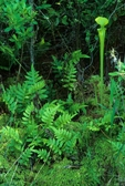 Yellow pitcher plant, fern, and sphagnum moss