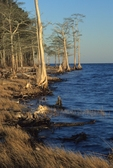 Bald cypresses along shore of the Neuse River