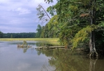 Chickahominy River with bald cypress, pines, and wild rice along the shoreline