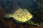 Planehead filefish (captive situation)