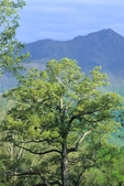 White oak with Sharp Top (one of the Peaks of Otter in the Blue Ridge Mountains) in the background