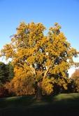 Yellow poplar in fall color