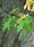 Silver maple leaves and fruits