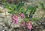 Bristly locust in flower