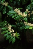 Carolina laurelcherry in flower