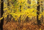 Witch hazel in fall color