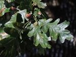 Oregon white oak (also called Garry oak) with acorns