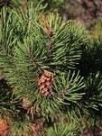 Shore pine with cones