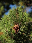 Shore pine with cone