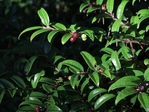 Evergreen huckleberry (also known as California huckleberry) with fruits