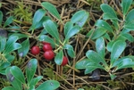Kinnikinnick (also known as common bearberry) with fruits