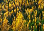 Autumn colors of Western Larches on slopes of the Kettle mountains near Sherman Pass.